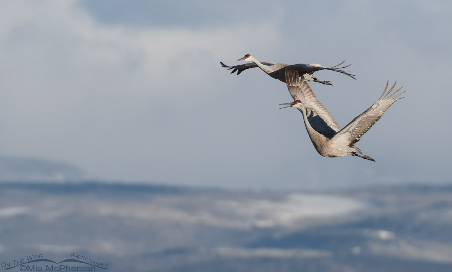 Two Sandhill Cranes circling to land