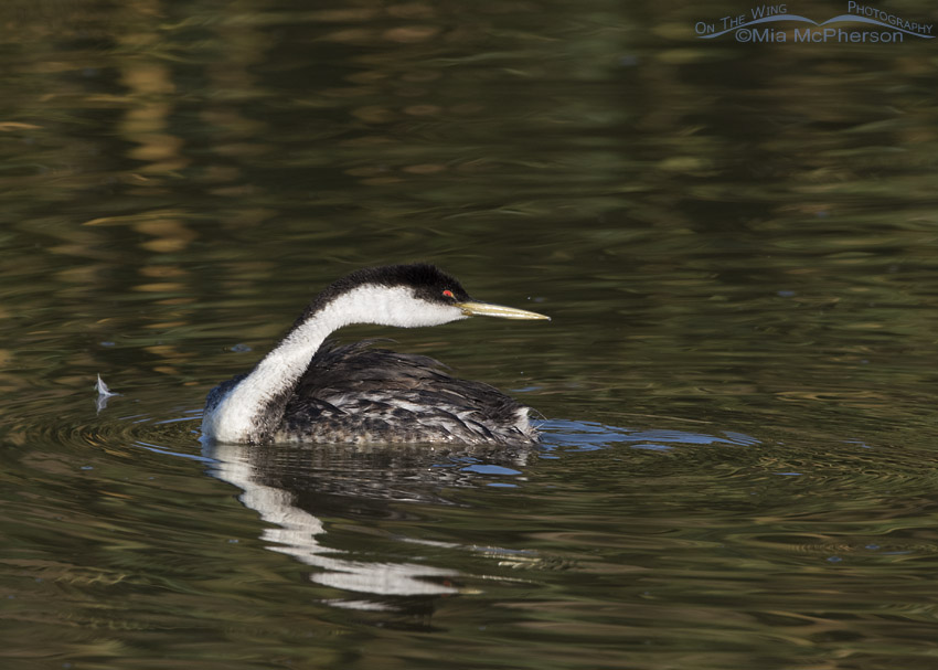 Western Grebe in a goofy pose