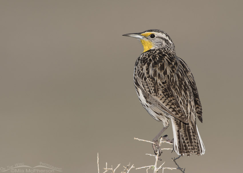Western Meadowlark perched on Greasewood