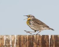 Western Meadowlark calling while walking on a rusty sign