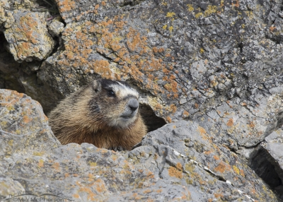 Yellow-bellied Marmot in a rocky crevice