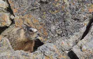 Yellow-bellied Marmot with lichen covered rocks