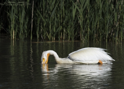Single feeding American White Pelican at Bear River