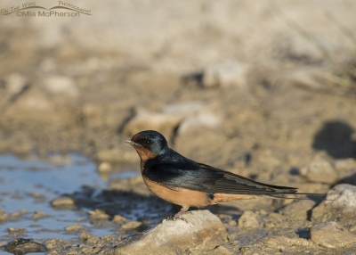 Barn Swallow at the edge of a puddle