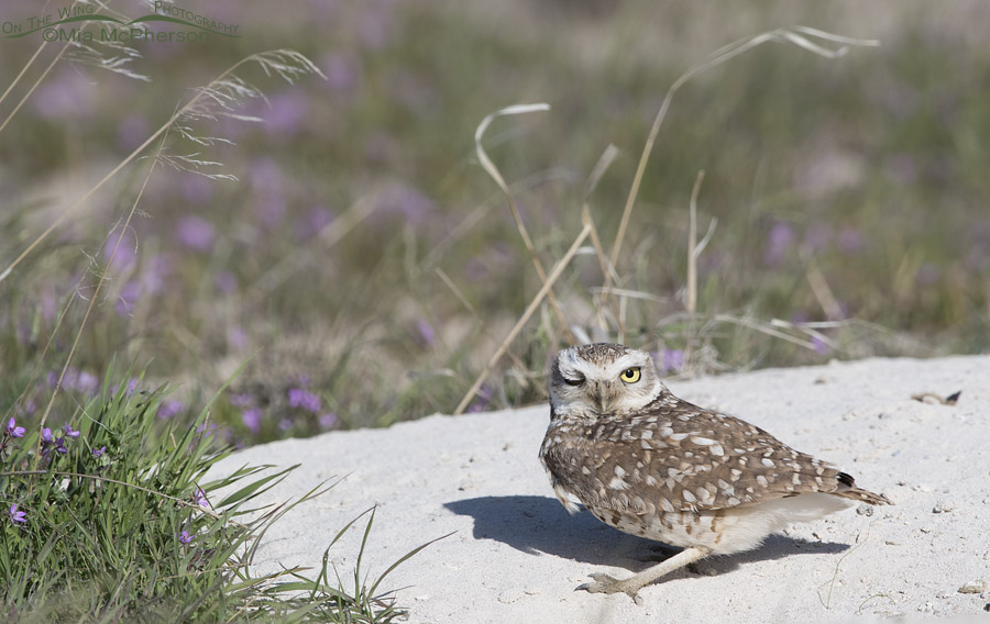 Winking adult Burrowing Owl