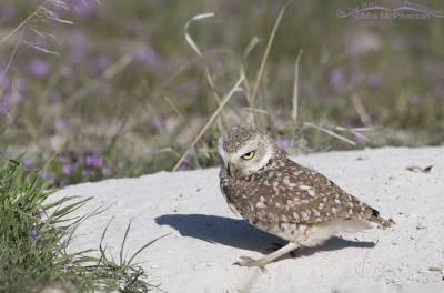 Male Burrowing Owl checking out the burrow
