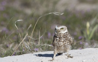 Male Burrowing Owl kicking up sand in a stiff wind