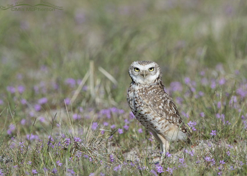 Alert male Burrowing Owl in a field of Filaree