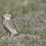 Male Burrowing owl in a field of wildflowers
