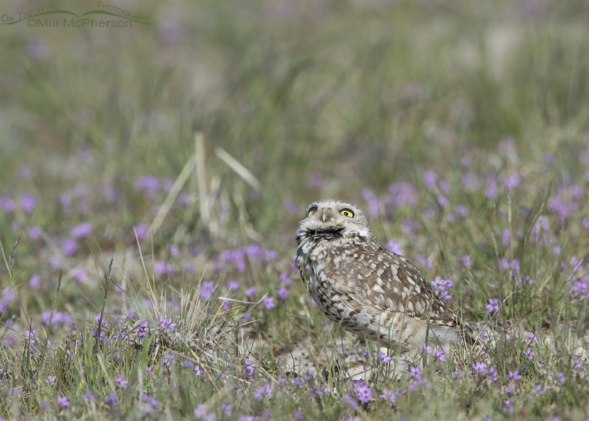 Burrowing Owl male checking out the sky