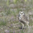 Burrowing Owl male on a windy day