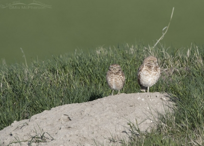 Burrowing Owls on a grassy hill