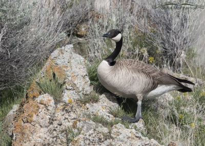 Canada Goose on a spring hillside