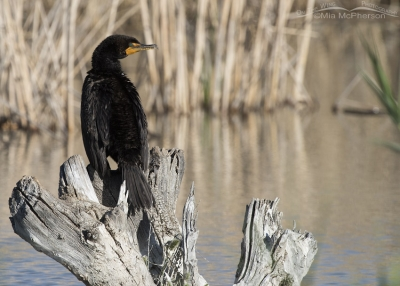 Double-crested Cormorant on a stump in the marsh