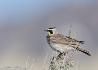 West Desert male Horned Lark on sagebrush