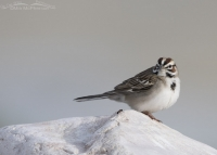 Lark Sparrow with an Ant