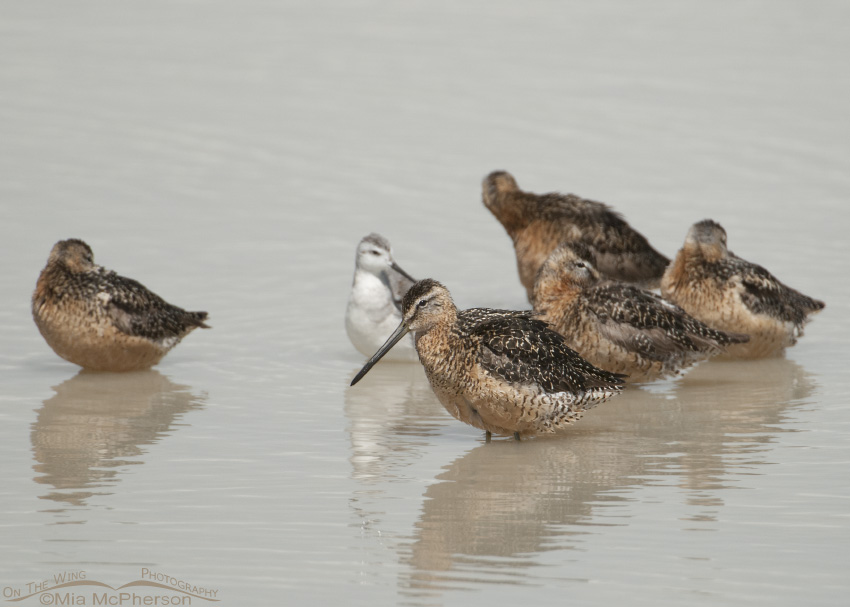 Long-billed Dowitcher Images