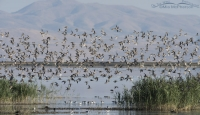 Flock of Long-billed Dowitchers in flight