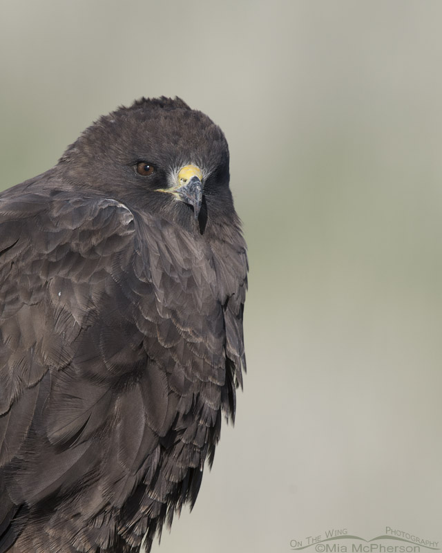 Dark morph Swainson's Hawk up close