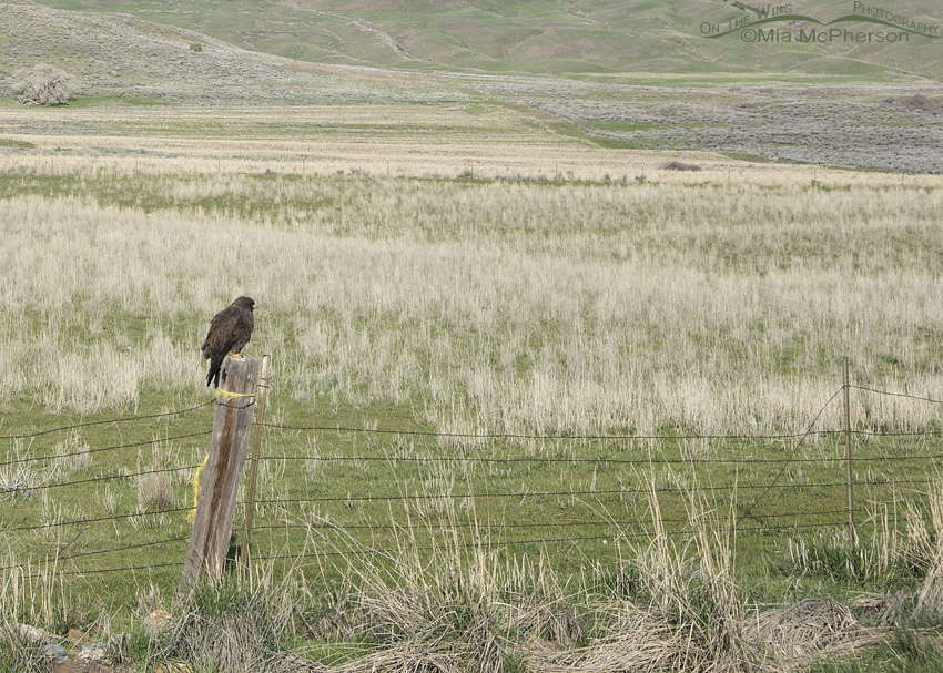 View of dark morph Swainson's Hawk on a fence post
