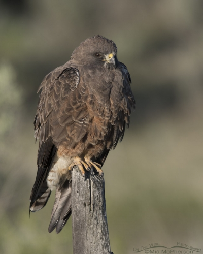 Dark morph Swainson's Hawk in early morning light