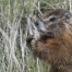 Yellow-bellied Marmot eating grass portrait