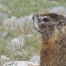 Yellow-bellied Marmot close up