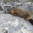 Yellow-bellied Marmot about to yawn