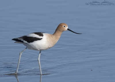 American Avocet with water in the background