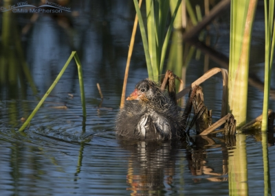 American Coot chick at Bear River MBR