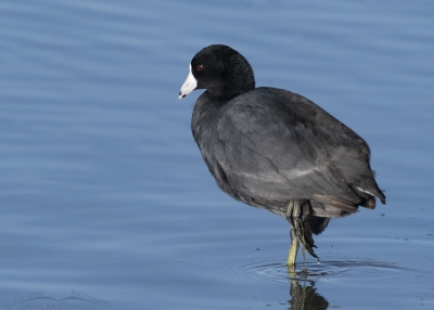American Coot standing on one leg at Bear River MBR