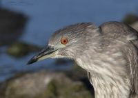 Agitated juvenile Black-crowned Night Heron