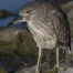 Black-crowned Night Heron juvenile on a rock
