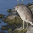 Juvenile Black-crowned Night Heron near a culvert