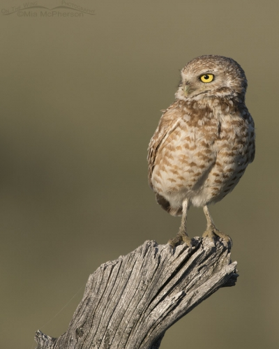Adult male Western Burrowing Owl on an old fence post