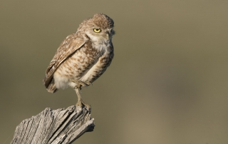 Western Burrowing Owl standing on one foot