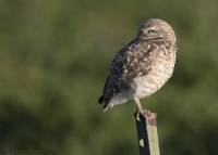 Burrowing Owl in front of a green field