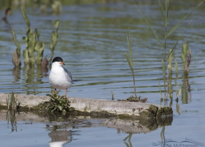 Forster's Tern on a log