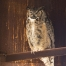 Winking Great Horned Owl