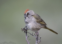 Green-tailed Towhee head tilt