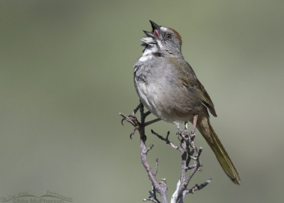 Male singing Green-tailed Towhee