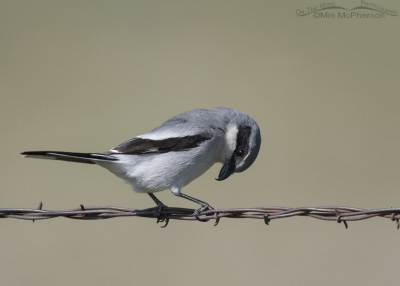 Loggerhead Shrike perched on barbed wire