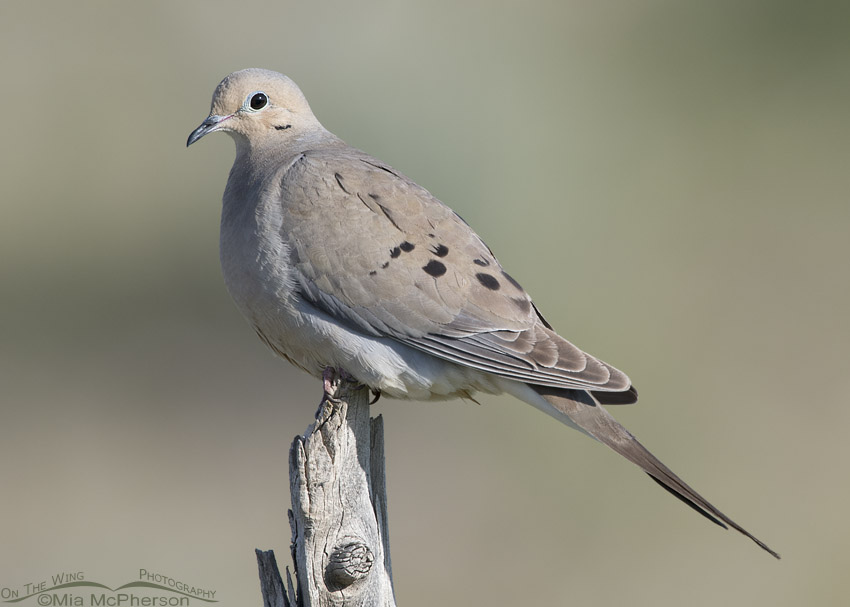 West Desert Mourning Dove