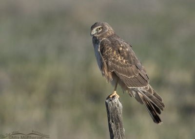 First Spring Northern Harrier male perched