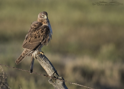 Preening first Spring male Northern Harrier