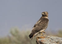 Male Red-tailed Hawk on a lichen covered perch on a windy day