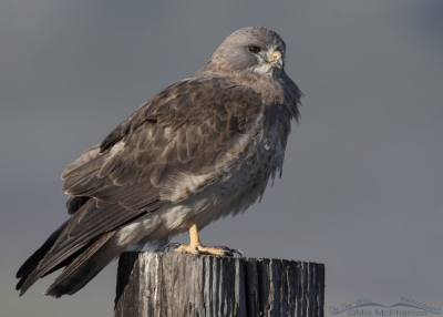 Swainson's Hawk light morph close up in profile