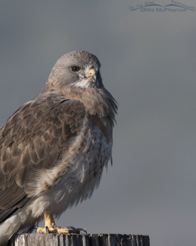 Close up view of an adult light morph Swainson's Hawk