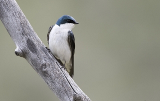 Low light Tree Swallow