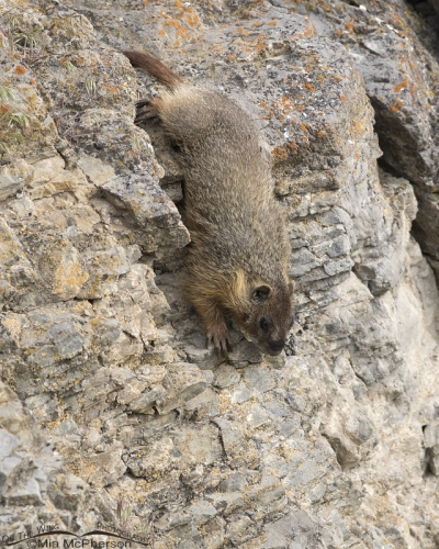 Yellow-bellied Marmot pup climbing down a rock face